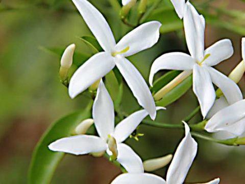 Arabische jasmijn